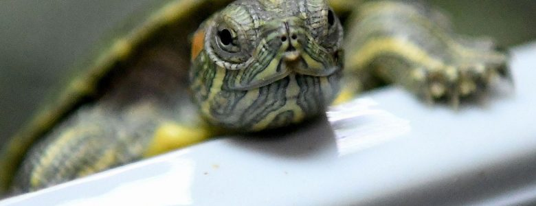 Ten Largest Box Turtle Baby Errors You Will Be Able To Only Prevent